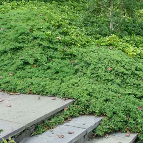 Juniperus procumbens 'Nana' is ideal as a ground cover in Japanese-theme gardens