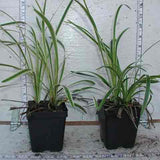 Liriope sample with variegated foliage in 3-1/2 in pots