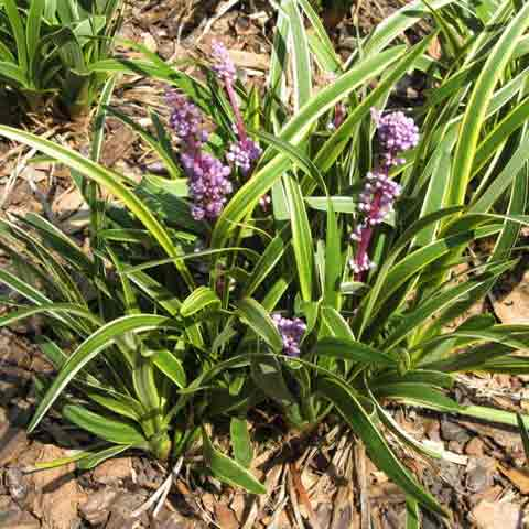 Liriope muscari 'John Burch' with crested inflorescence