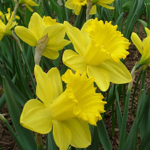 Narcissus King Alfred - 50 per Box