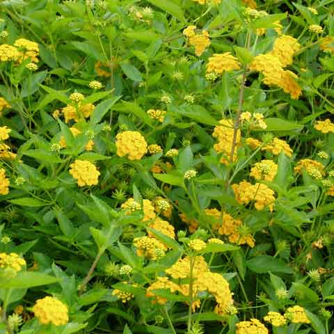 Lantana 'New Gold' produces golden yellow flowers from spring to frost
