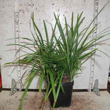 Photograph of Liriope muscari in a 3-1/2 inch pot