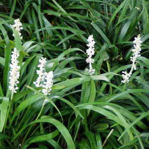 Liriope muscari 'Monroe White' brightens dark corners of the garden