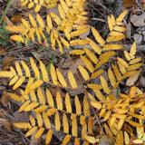 Fall colors of Royal Fern
