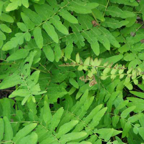 Osmunda regalis summer foliage