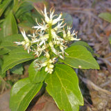 Japanese Spurge - Pachysandra terminalis - flowers close up