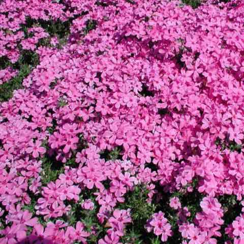 Phlox 'Red Wings' flowers