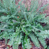 Christmas Fern - Polystichum acrosticoides in winter