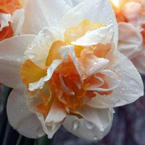 Narcissus Replete - 50 per Box
