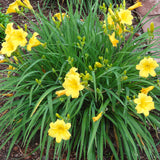 Daylily 'Stella de Oro' grows in tight, compact clumps