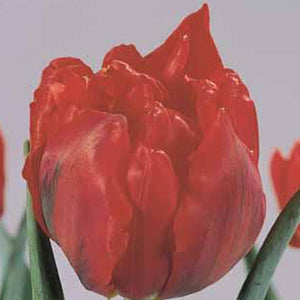 Tulip Abba - 100 per Box at GoGardenNow