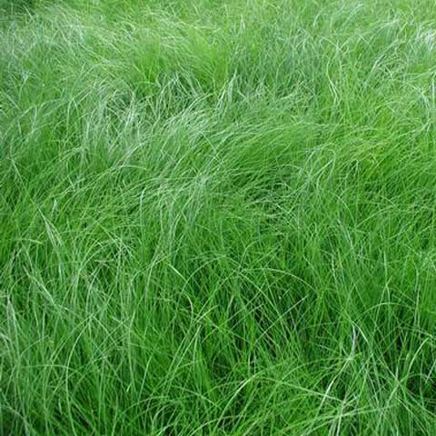 Carex appalachica - Appalachian Sedge