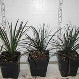 Black Ophiopogon Mondo grass in 3-1/2 inch pots