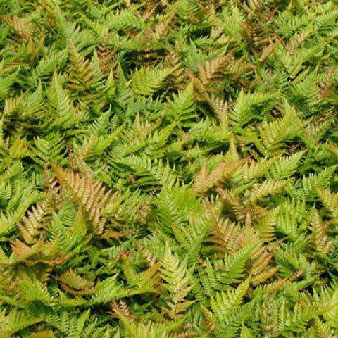 Dryopteris erythrosora, Autumn Fern, Japanese Shield Fern
