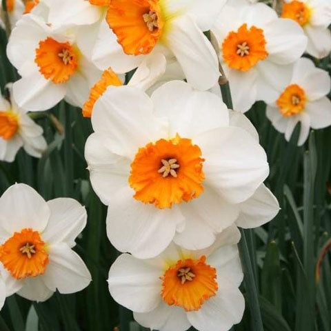Narcissus Barrett Browning #GoGardenNow