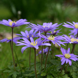 Anemone blanda naturalized in the landscape
