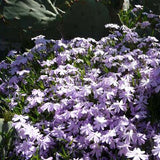 Phlox subulata 'Blue Emerald'