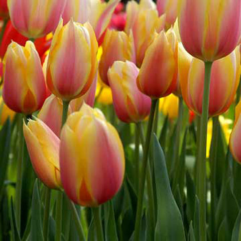 Tulip Blushing Beauty - 100 per Box
