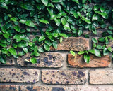 Creeping fig on brick wall