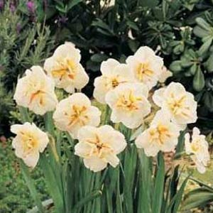 Narcissus Broadway Star - 50 per Box