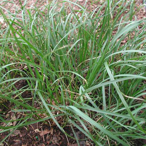 Carex pensylvanica is a fine lawn substitute in dry, woodland areas