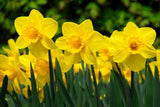 Narcissus Carlton grouping - GoGardenNow
