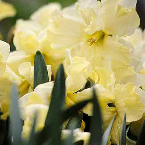 Narcissus Cassata - 50 per Box