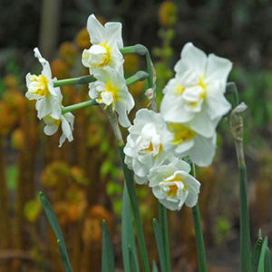 Narcissus White Cheerfulness - 50 per Box
