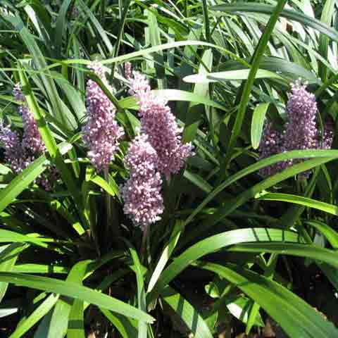 Liriope muscari Christmas Tree with densely packed flower clusters