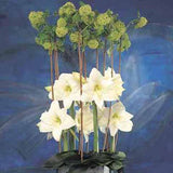 Amaryllis Christmas Gift- 34+ cm, 5 Bulbs