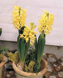Hyacinth City of Haarlem- 16/17 cm - 50/Box