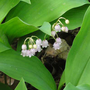 Lily-Of-The-Valley Bare Root Crowns (Minimum Quantity: 25 Crowns)