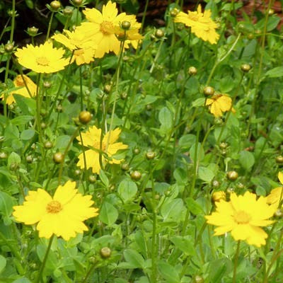 Dwarf Mouse-ear Coreopsis