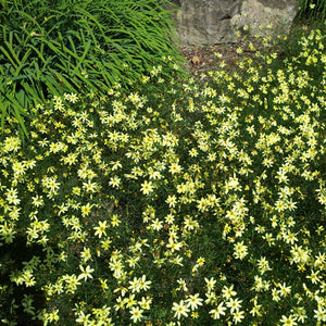 Coreopsis 'Moonbeam' in a perennial border.