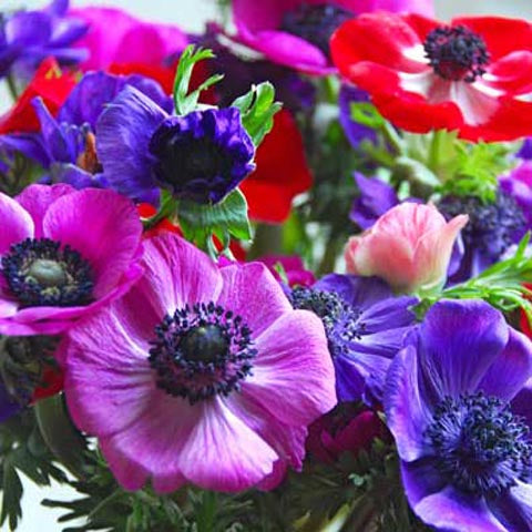 Anemone De Caen Mixed Colors #GoGardenNow