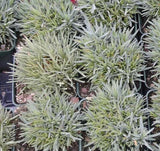 Dianthus plant samples in 3-1/2 inch pots