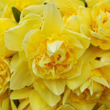 Narcissus Dick Wilden grouping - GoGardenNow