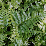 Southern Shield Fern - 3.5 inch Pots (Minimum Quantity: 25 Plants)