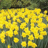 Narcissus Dutch Master in landscape - GoGardenNow
