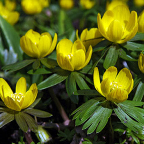 Eranthis hyemalis, Winter Aconite - GoGardenNow