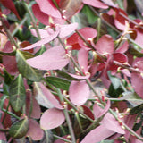 Euonymus fortunei 'Coloratus' color intensifies in cool weather