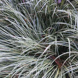 Carex 'Evergold' winter color