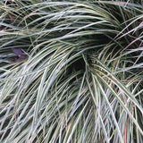 Carex 'Evergold' winter color #2