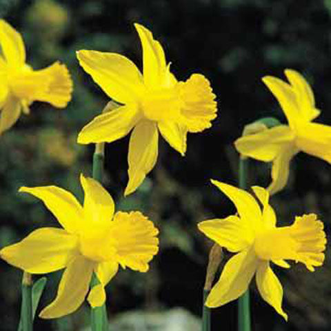 Narcissus February Gold - GoGardenNow