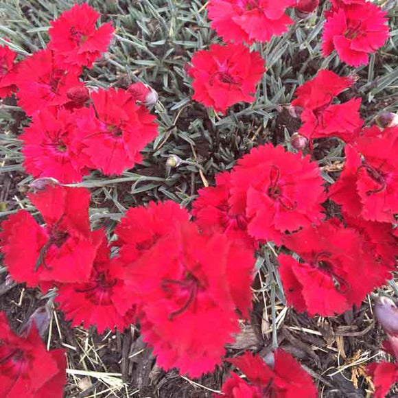 Dianthus 'Fire Star' - 3.5 inch Pots (Minimum Quantity: 25 Plants)