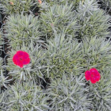 Dianthus 'Fire Star' in pots