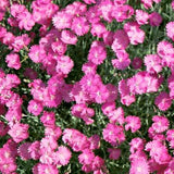 Dianthus 'Fire Witch'
