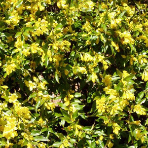 Carolina Jessamine - 3.5 inch Pots (Minimum Quantity: 25 Plants)