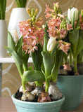 Hyacinth Gipsy Queen in bowl - GoGardenNow