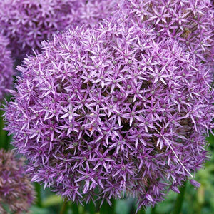 Allium 'Gladiator' - Giant Flowering Onion #GoGardenNow